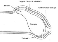 Схема проявления баланопостита